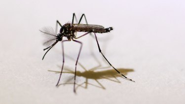 The Aedes aegypti mosquito is responsible for spreading the virus.