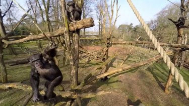 Chimps arm themselves with sticks and figure out how to force the drone to the ground.