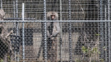 A baboon sits and looks out from behind security fencing at the National Health and Medical Research Council facility.