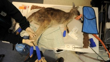 We care: Vets treat a kangaroo for burns from a bushfire.