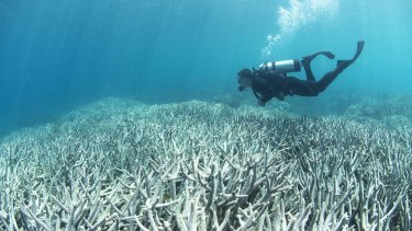 A diver checks out the Barrier Reef coral bleaching at Heron Island in February.