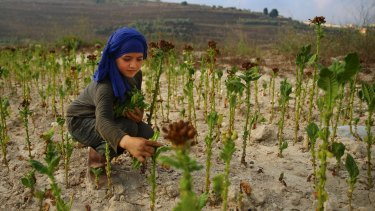 Syrian refugee Naamah al-Durzi, 13, who fled with her family from the city of Idlib, harvests tobacco leaves at a field in the southern village of Jibchit, Lebanon.