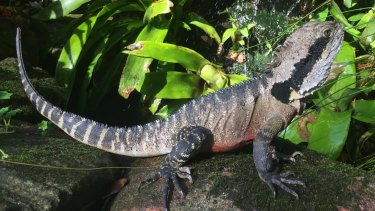 Kinkytail, an eastern water dragon, resident in the Northern Illawarra.