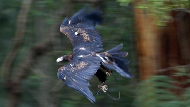 Spain-based Save the Eagles International is worried about the impact of wind farms on eagles and other birds.