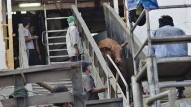Cattle from Darwin come off the ship at the port of Tanjung Priok in Jakarta.