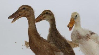 Ducks can be aggressive.