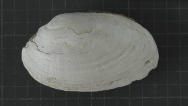 The fossil Pseudodon shell with the engraving made by Homo erectus at Trinil, Indonesia.