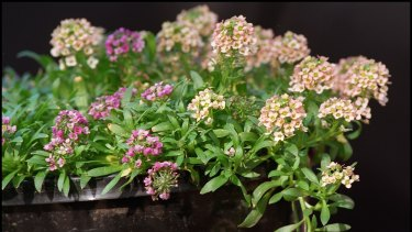 Alyssum's main purpose is as a small, easy-care, floriferous and short-lived perennial filler.