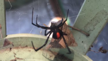 A redback shot at Belmore on the weekend.