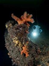 Exploring soft corals on a shipwreck
