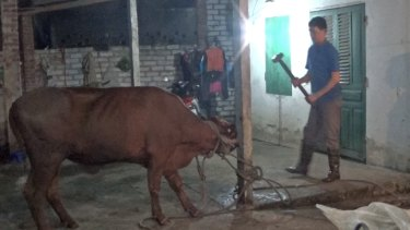 Animals Australia has included this photograph, taken inside a Vietnamese abattoir last month, in its complaint to the Department of Agriculture.