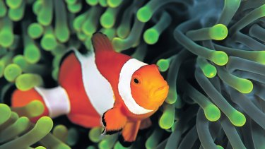 Clownfish populations on coral reefs have been declining since Finding Nemo was released.