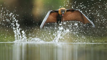Flying foxes wreaking havoc.