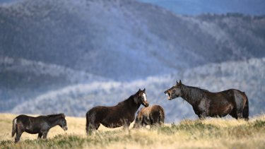 Brumbies in the high country in Falls Creek.