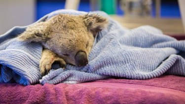 A young koala was euthanased after being mauled by a pet dog north of Brisbane early on Tuesday.