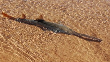 A sawfish in shallow water.
