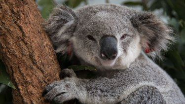Koalas were once widespread and familiar animals.