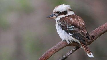 Laughing kookaburra sightings in south-eastern Australia have almost halved since 1999.