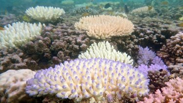Bleached coral in northern section of Great Barrier Reef, taken in 2015.