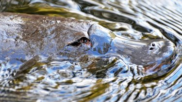The recent distribution numbers for platypus in Queensland are unknown.