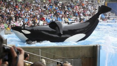 A scene from the controversial documentary, <i>Blackfish</i>.