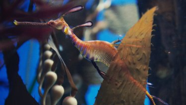 Weedy sea dragons are now part of the exhibits at the Sea Life Sydney Aquarium.