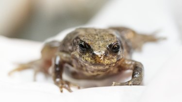 A baw baw frog.