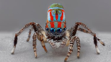 Look At Me! I Am An Artist From Australia (Maratus Splendens, 2018). Digital imaging Maria Fernanda Cardoso in collaboration with Geoff Thompson and Andy Wang.