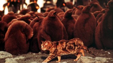 A feral cat roams among baby penguins at a colony on Macquarie Island.