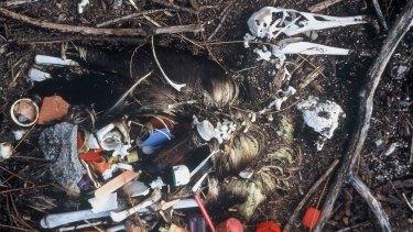 A dead albatross with plastics presumably consumed by the dead bird.