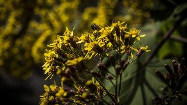 Pollen aplenty in the Sydney Botanical Gardens.