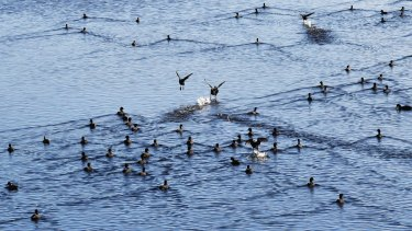 Birds thrive on the effluent-holding lagoon of the Eastern Treatment Plant.