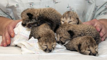 Five cheetah cubs born at Cincinnati Zoo on March 8, 2016 after a rare C-section procedure. The cubs are undergoing around-the-clock critical care in the zoo's nursery.