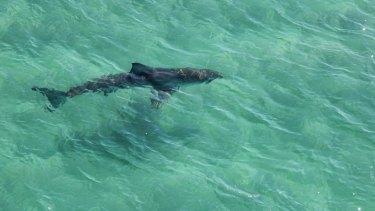 A large shark  photographed near Ballina.
