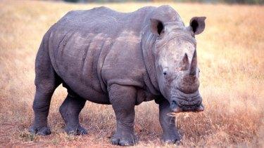 A rhinoceros in the wild.