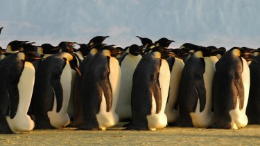 Emperor penguins huddling at Auster Rookery, Australian Antarctic Territory.