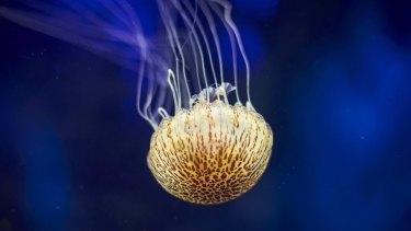 Monsters from the deep: Sea Life Melbourne Aquarium jellyfish livestream.