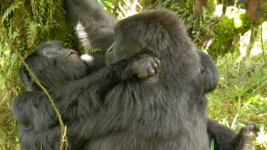 This is the first time two wild female gorillas have been documented engaging in sexual behaviour.