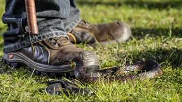 Tiger snakes are said to be in strong supply around Herdsman Lake.