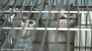 Macaques used in experiments, in a photo taken from a Cruelty Free International investigation.