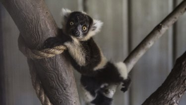 The Mogo Zoo has welcomed the birth of two baby Black and white Ruffed Lemurs.