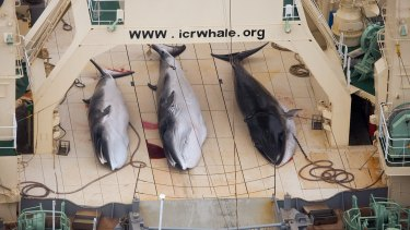 Under a new whaling plan, Japan intends to kill nearly 4000 minke whales over the next 12 years.
