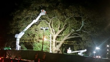 """Arboristsstart cutting down a beloved Moreton Bay fig treein Randwick,known locally as the """"Tree of Knowledge""""."""