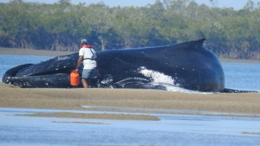 Queensland Parks and Wildlife Service officers tried, unsuccessfully, to save the two stranded whales.