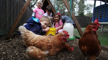Learning environment: Preschoolers (from left) Alyssa Madirazza, Aleksander Puleo, Ethan Bradey and Gianna Muscat feed the chickens at Beehive Castle Hill Childcare.