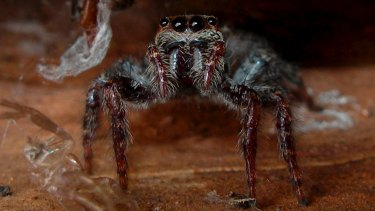 Little liar: The jumping spider uses its legs to mimic an ant's antennae.