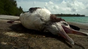 Bad diet: This  seabird was a victim of plastic pollution.