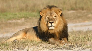 In this undated photo provided by the Wildlife Conservation Research Unit, Cecil the lion rests in Hwange National Park in Zimbabwe.
