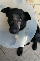 """Bravo the police dog was treated by a veterinarian after it was """"set upon"""" at the Gold Coast."""