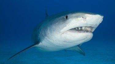 A tiger shark swims through the ocean.